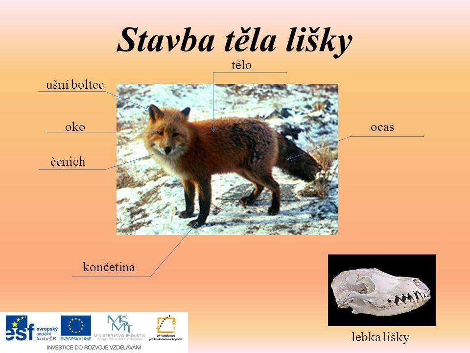 Stavba těla lišky ušní boltec oko čenich tělo ocas končetina lebka lišky