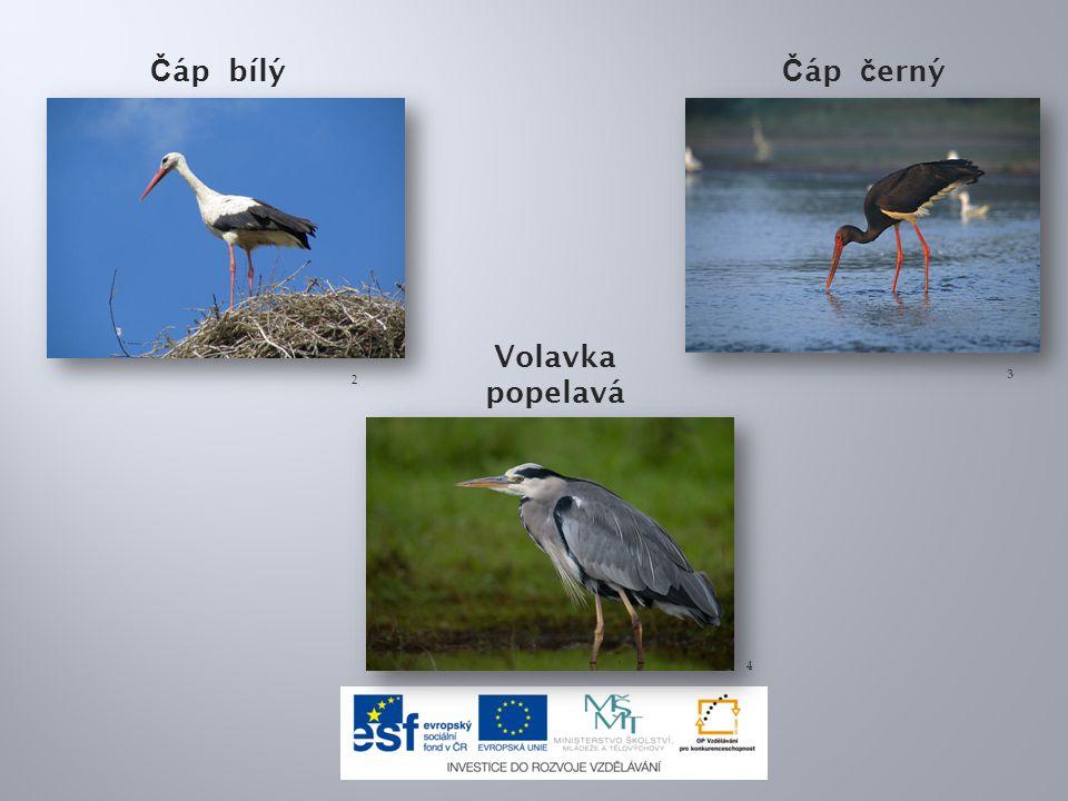 Ptáci brodiví mají : a)dlouhé končetiny s plovací blánou b)krátké končetiny s plovací blánou c)dlouhé končetiny s blanitým lemem