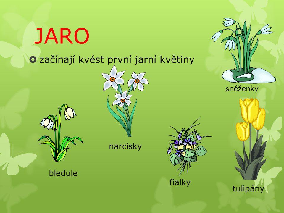 JARO  začínají kvést první jarní květiny sněženky fialky bledule narcisky tulipány