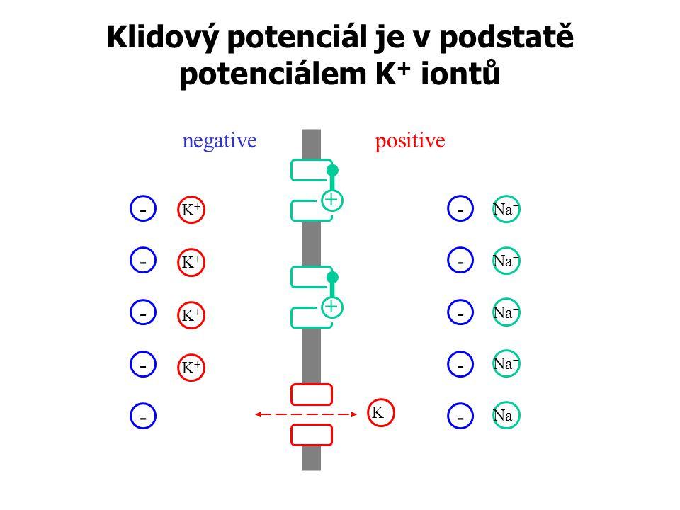 Klidový potenciál je v podstatě potenciálem K + iontů negativepositive - - K+K+ - - - K+K+ K+K+ K+K+ Na + - - - - - K+K+ + +