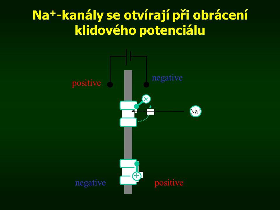 Na + -kanály se otvírají při obrácení klidového potenciálu positive Na + + + negativepositive negative