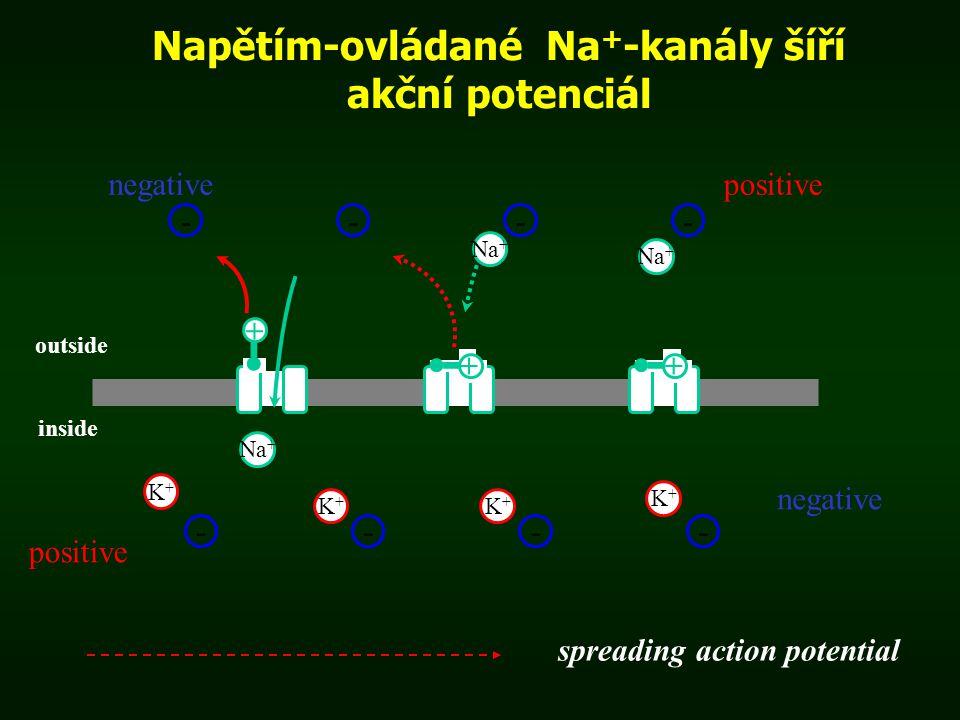 Napětím-ovládané Na + -kanály šíří akční potenciál negativepositive ---- ---- K+K+ Na + negative spreading action potential + ++ outside inside K+K+ K