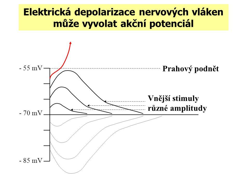 Elektrická depolarizace nervových vláken může vyvolat akční potenciál - 55 mV - 70 mV - 85 mV Prahový podnět time (ms) Vnější stimuly různé amplitudy