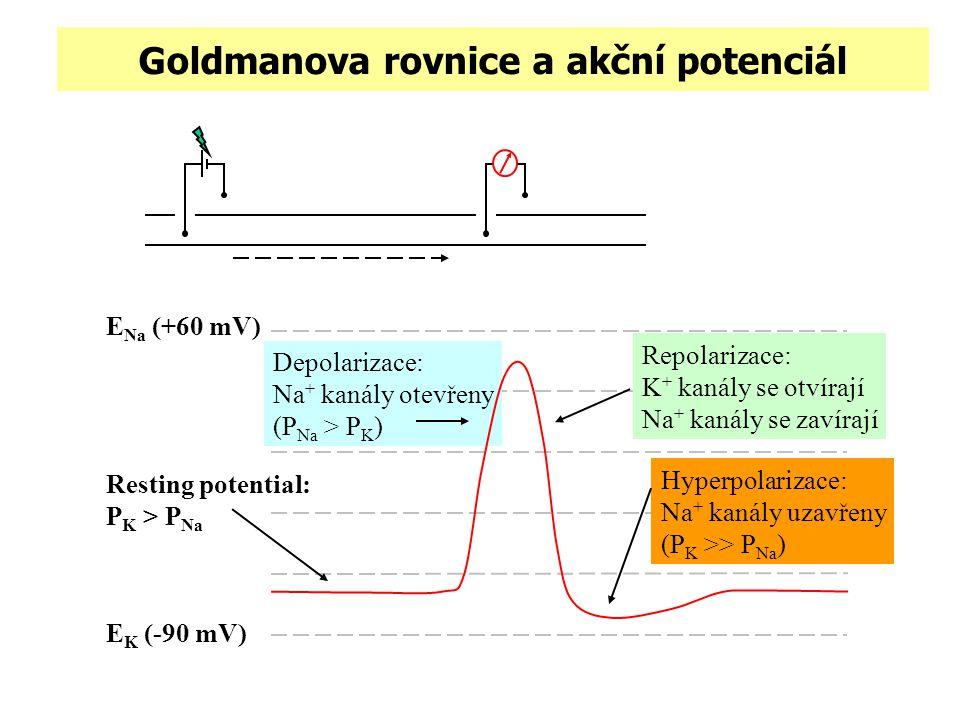 Goldmanova rovnice a akční potenciál E Na (+60 mV) E K (-90 mV) Resting potential: P K > P Na Depolarizace: Na + kanály otevřeny (P Na > P K ) Hyperpo