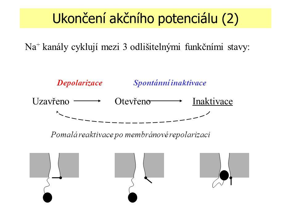 Na + kanály cyklují mezi 3 odlišitelnými funkčními stavy: UzavřenoOtevřenoInaktivace DepolarizaceSpontánní inaktivace Pomalá reaktivace po membránové