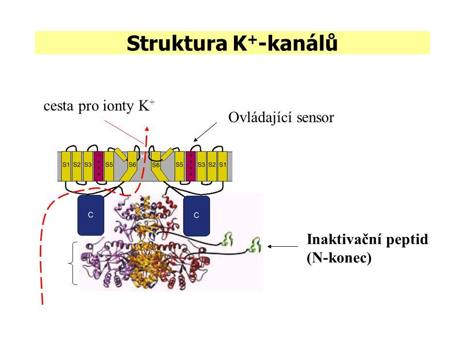 Struktura K + -kanálů Inaktivační peptid (N-konec) Ovládající sensor cesta pro ionty K +