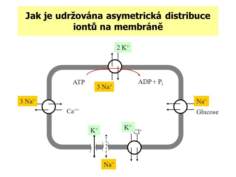 Jak je udržována asymetrická distribuce iontů na membráně 3 Na + 2 K + ATP ADP + P i 3 Na + Ca ++ Na + Glucose Cl - Na + K+K+ K+K+