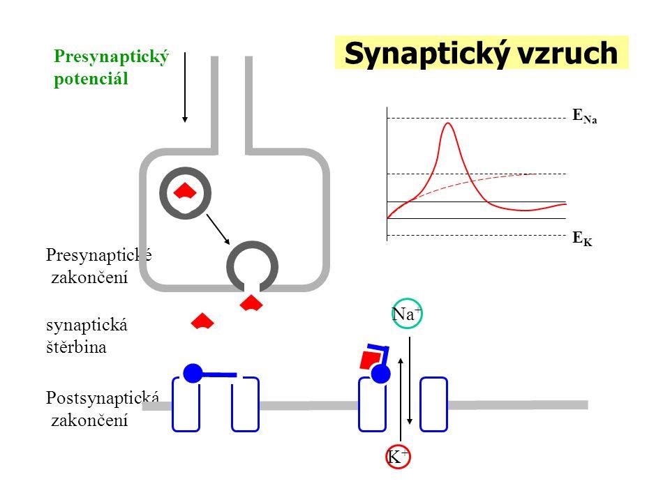Synaptický vzruch Presynaptické zakončení Postsynaptická zakončení K+K+ Na + Presynaptický potenciál EKEK E Na synaptická štěrbina