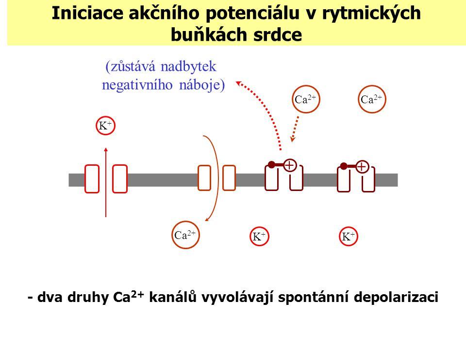Iniciace akčního potenciálu v rytmických buňkách srdce - dva druhy Ca 2+ kanálů vyvolávají spontánní depolarizaci K+K+ K+K+ + (zůstává nadbytek negati