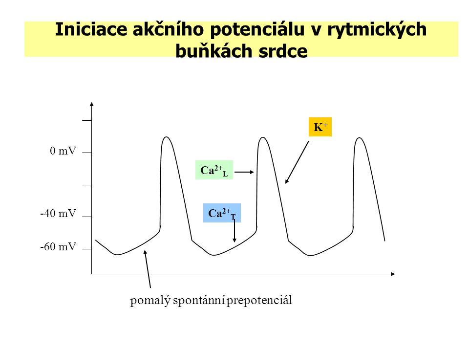 Iniciace akčního potenciálu v rytmických buňkách srdce -60 mV 0 mV K+K+ -40 mV pomalý spontánní prepotenciál Ca 2+ T Ca 2+ L