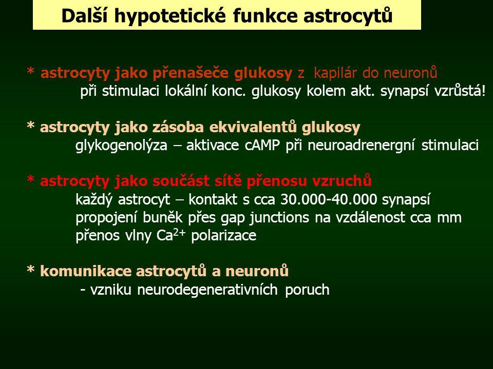 Další hypotetické funkce astrocytů * astrocyty jako přenašeče glukosy z kapilár do neuronů při stimulaci lokální konc. glukosy kolem akt. synapsí vzrů