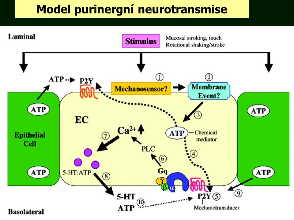 Model purinergní neurotransmise