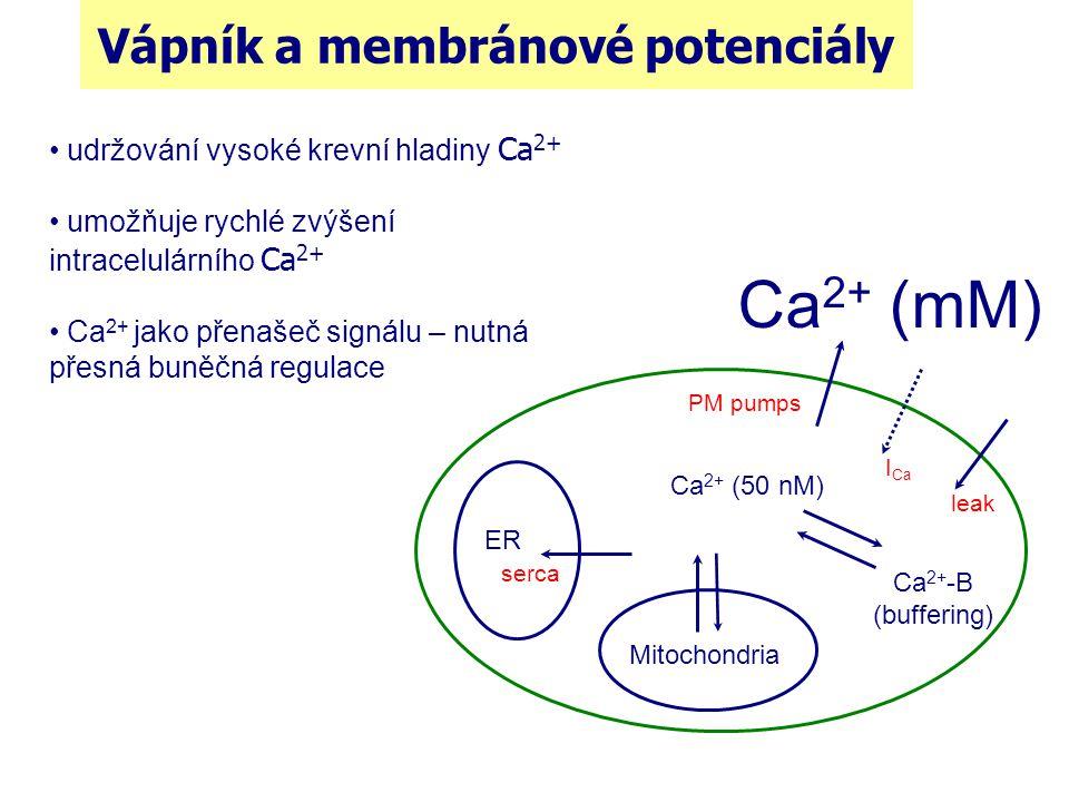 Vápník a membránové potenciály ER Mitochondria Ca 2+ (mM) Ca 2+ (50 nM) Ca 2+ -B (buffering) serca PM pumps I Ca leak udržování vysoké krevní hladiny