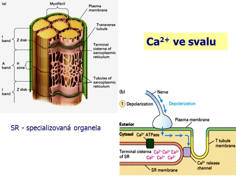 Ca 2+ ve svalu SR - specializovaná organela