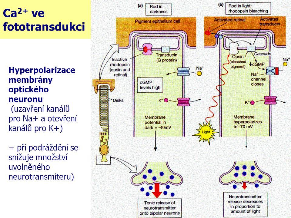 Ca 2+ ve fototransdukci Hyperpolarizace membrány optického neuronu (uzavření kanálů pro Na+ a otevření kanálů pro K+) = při podráždění se snižuje množ