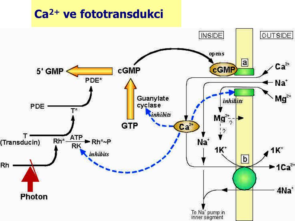 Ca 2+ ve fototransdukci
