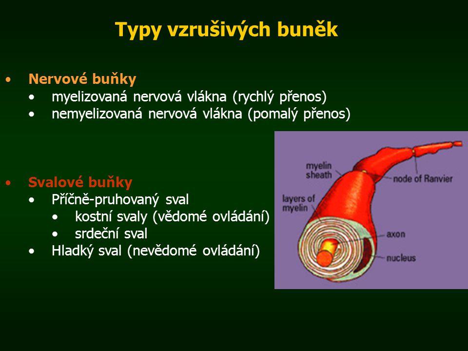 Typy vzrušivých buněk Nervové buňky myelizovaná nervová vlákna (rychlý přenos) nemyelizovaná nervová vlákna (pomalý přenos) Svalové buňky Příčně-pruho