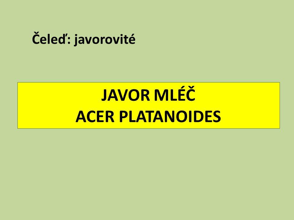 JAVOR MLÉČ ACER PLATANOIDES Čeleď: javorovité