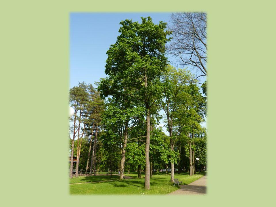 Habitus  strom 35–40 m vys.