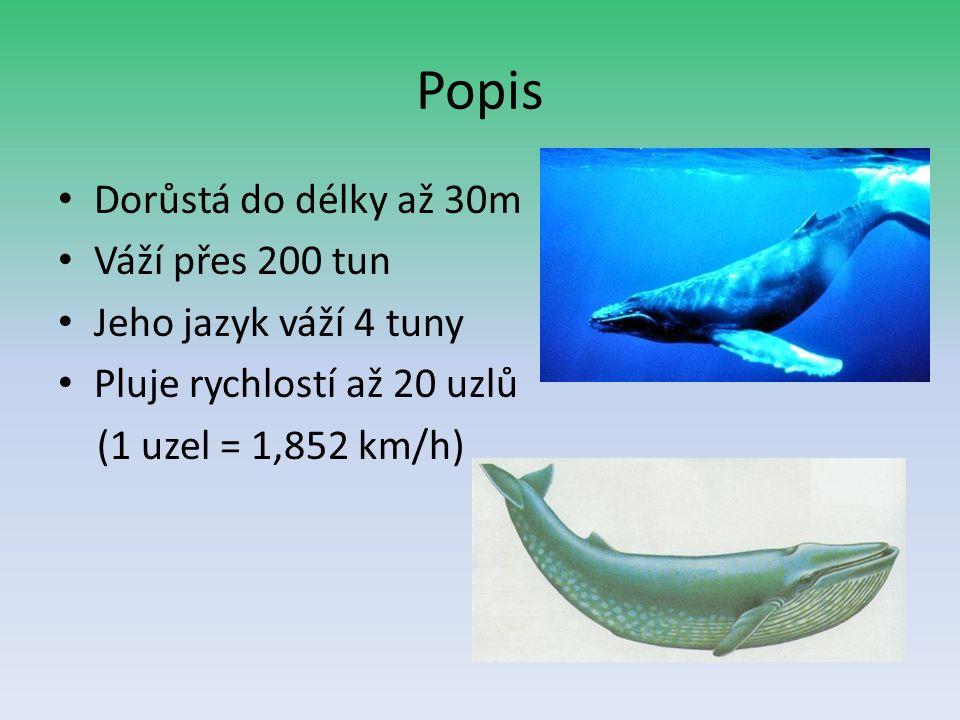 Popis Dorůstá do délky až 30m Váží přes 200 tun Jeho jazyk váží 4 tuny Pluje rychlostí až 20 uzlů (1 uzel = 1,852 km/h)