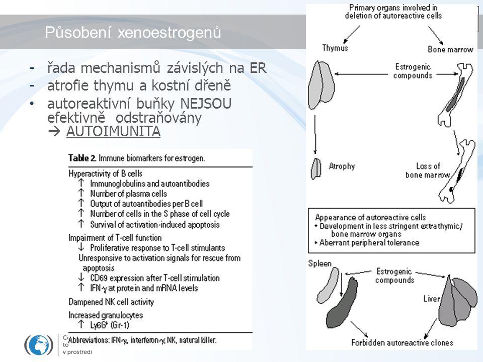 Působení xenoestrogenů -řada mechanismů závislých na ER -atrofie thymu a kostní dřeně autoreaktivní buňky NEJSOU efektivně odstraňovány  AUTOIMUNITA