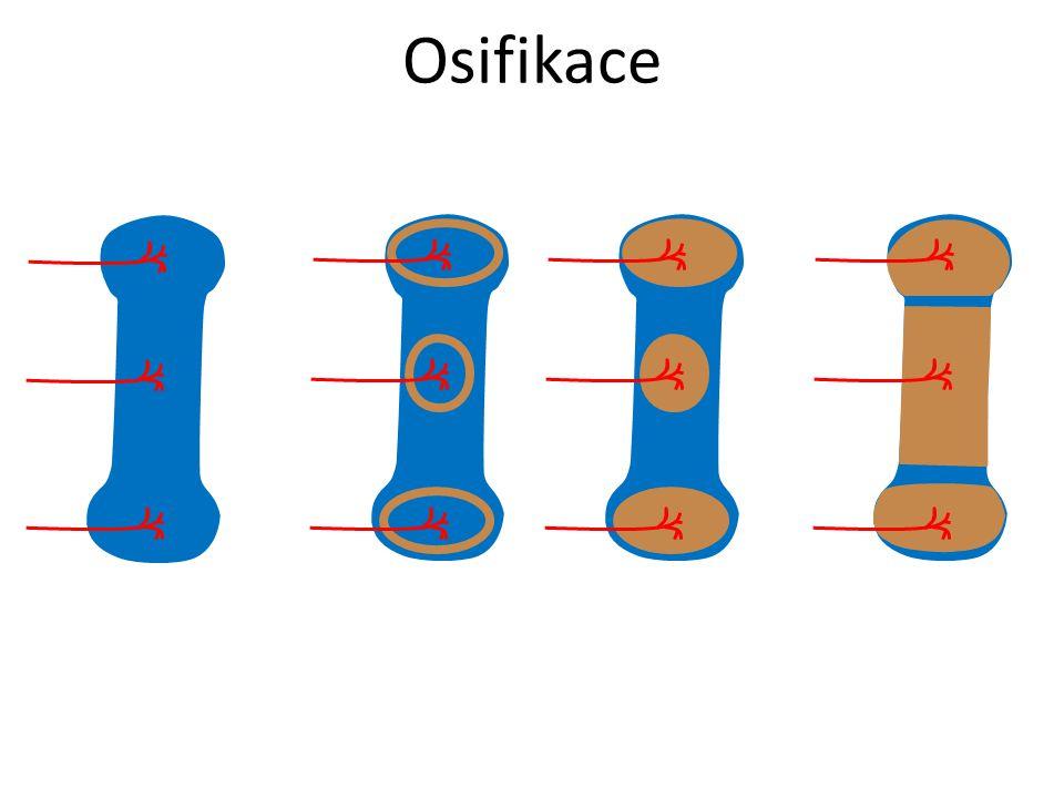 Osifikace