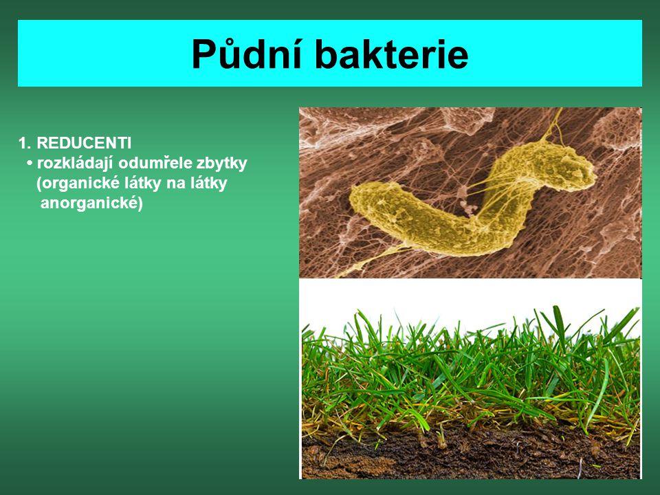 Půdní bakterie 1. REDUCENTI rozkládají odumřele zbytky (organické látky na látky anorganické)