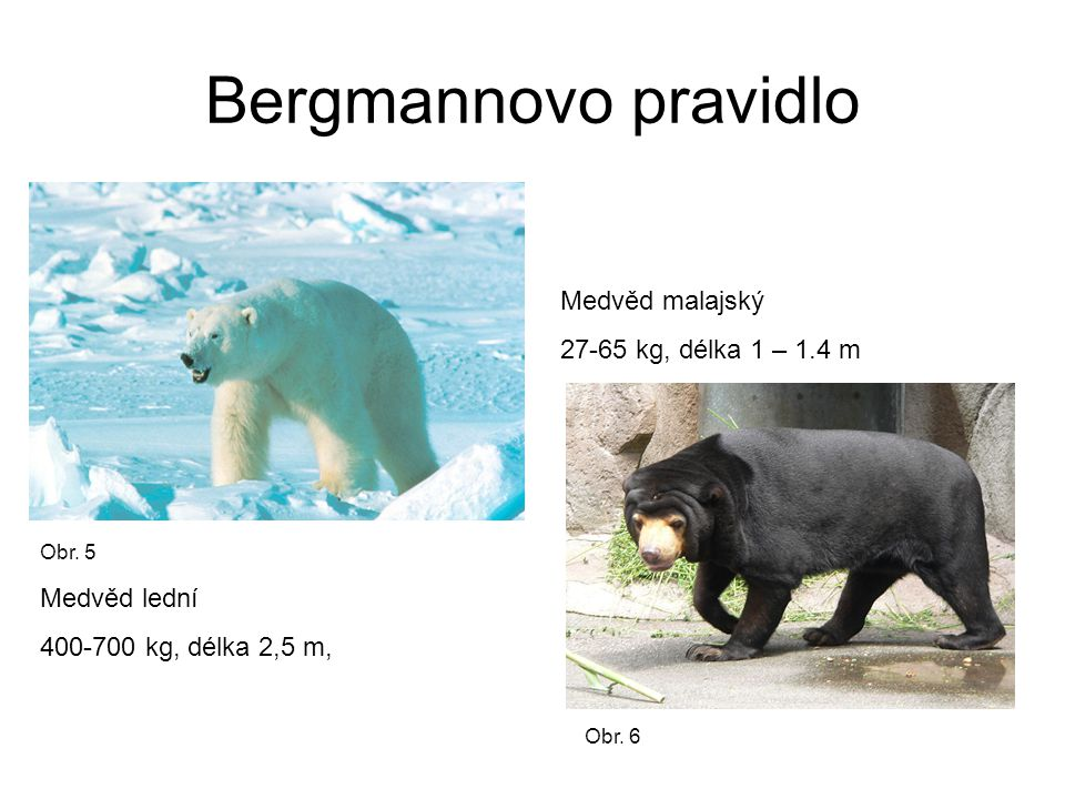 Bergmannovo pravidlo Medvěd malajský 27-65 kg, délka 1 – 1.4 m Medvěd lední 400-700 kg, délka 2,5 m, Obr.