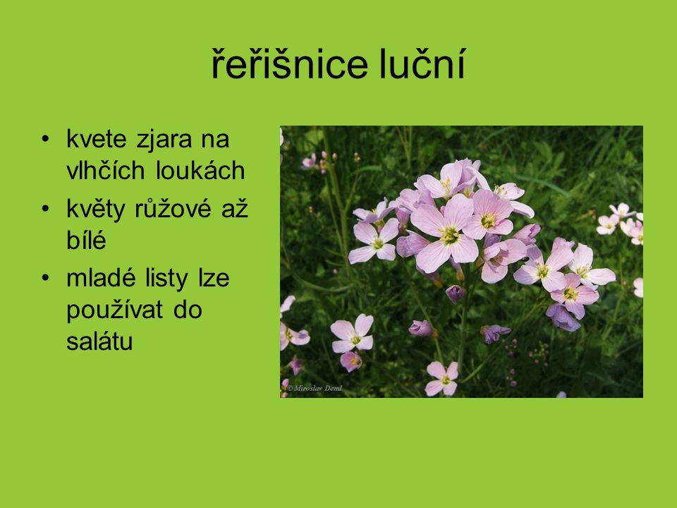 řeřišnice luční kvete zjara na vlhčích loukách květy růžové až bílé mladé listy lze používat do salátu