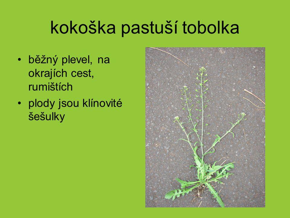 kokoška pastuší tobolka běžný plevel, na okrajích cest, rumištích plody jsou klínovité šešulky