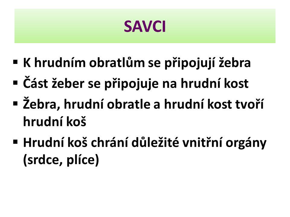 SAVCI  K hrudním obratlům se připojují žebra  Část žeber se připojuje na hrudní kost  Žebra, hrudní obratle a hrudní kost tvoří hrudní koš  Hrudní koš chrání důležité vnitřní orgány (srdce, plíce)