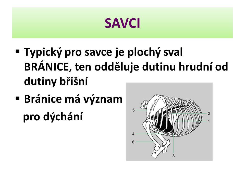 SAVCI  Typický pro savce je plochý sval BRÁNICE, ten odděluje dutinu hrudní od dutiny břišní  Bránice má význam pro dýchání