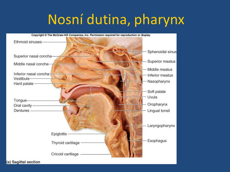 Nosní dutina, pharynx