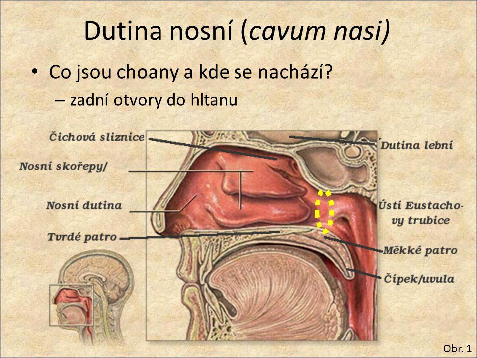 Vedlejší dutiny nosní (sinusy) v kosti čelní, čichové, klínové a horní čelisti rezonátory pro hlas, časté záněty Obr.