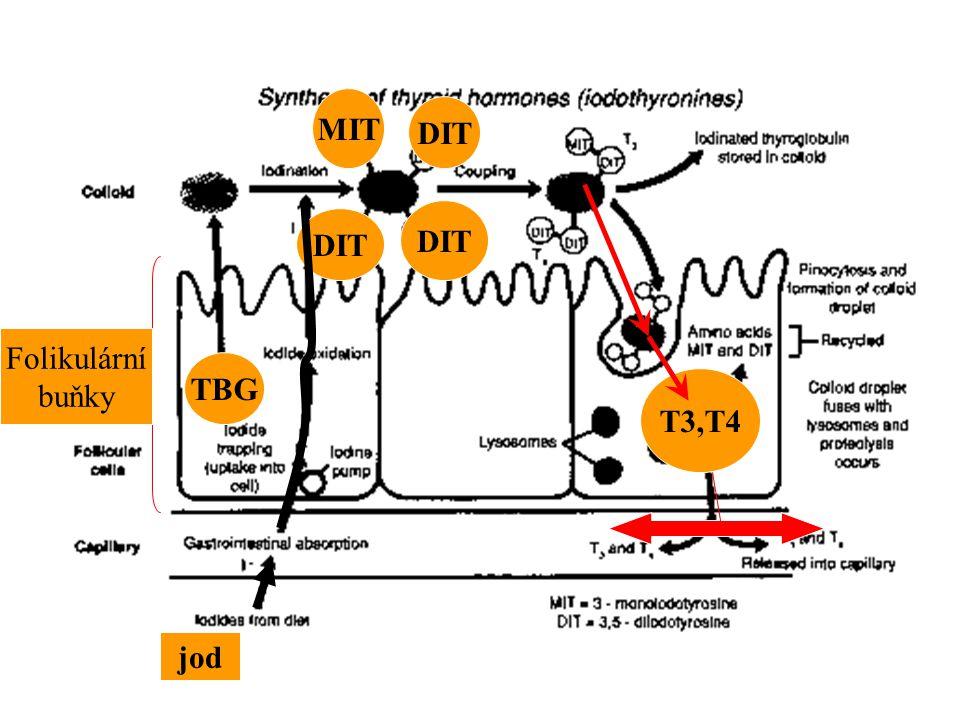 jod TBG MIT DIT T3,T4 Folikulární buňky