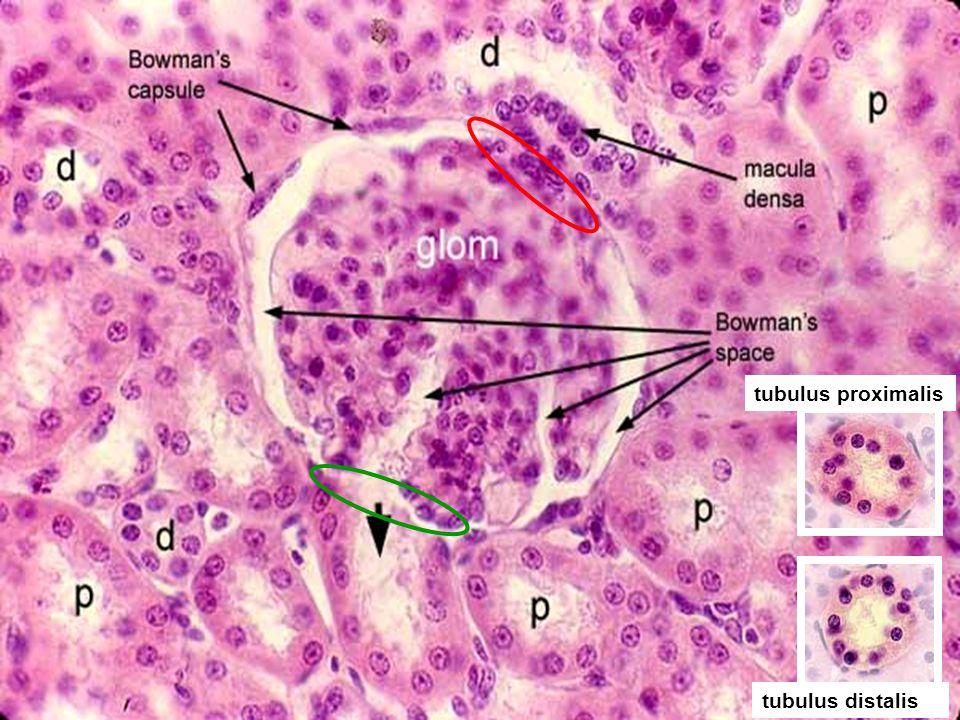 13 tubulus proximalis tubulus distalis