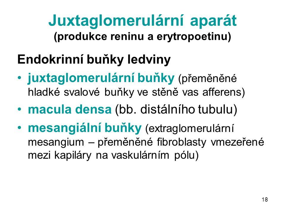 18 Juxtaglomerulární aparát (produkce reninu a erytropoetinu) Endokrinní buňky ledviny juxtaglomerulární buňky (přeměněné hladké svalové buňky ve stěně vas afferens) macula densa (bb.