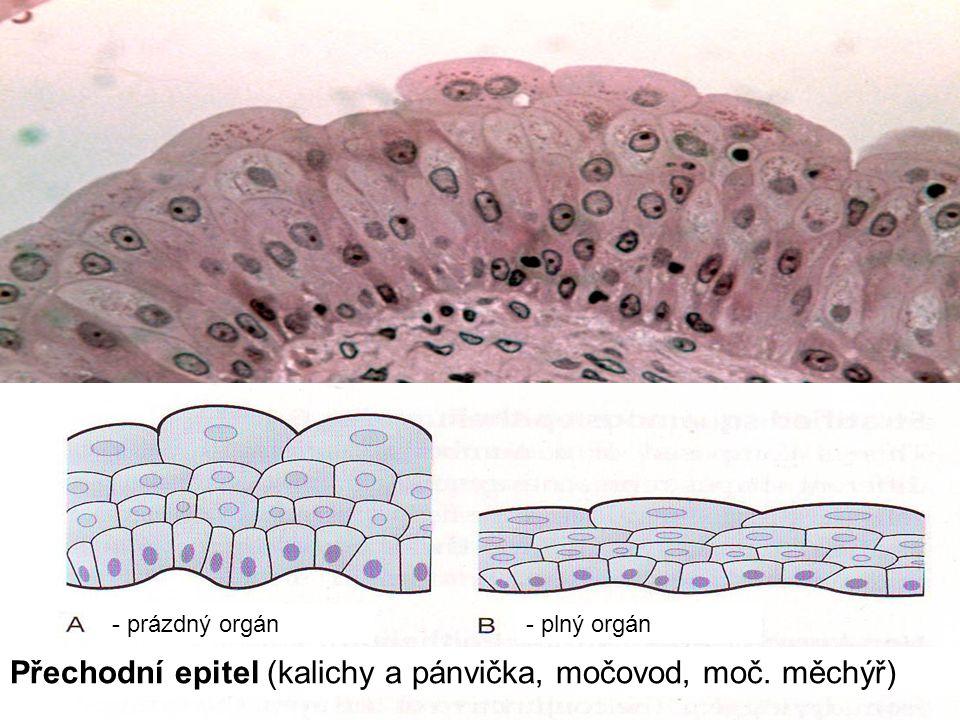 29 Přechodní epitel (kalichy a pánvička, močovod, moč. měchýř) - prázdný orgán- plný orgán