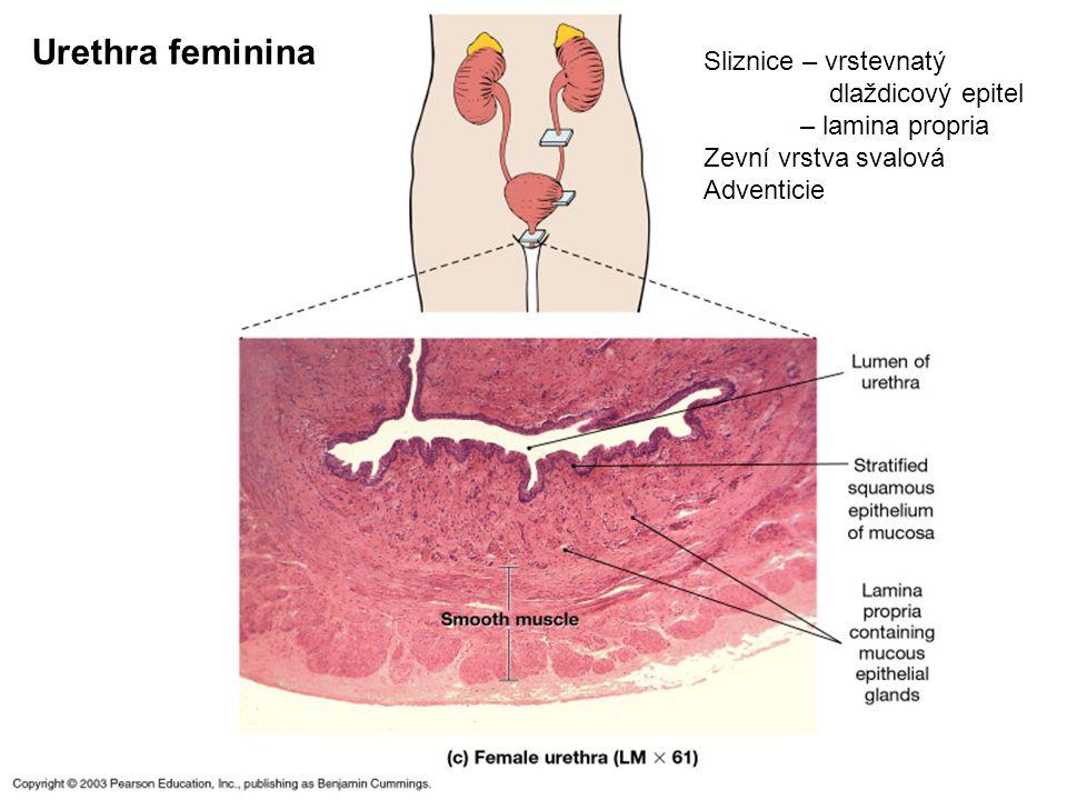 36 Urethra feminina Sliznice – vrstevnatý dlaždicový epitel – lamina propria Zevní vrstva svalová Adventicie