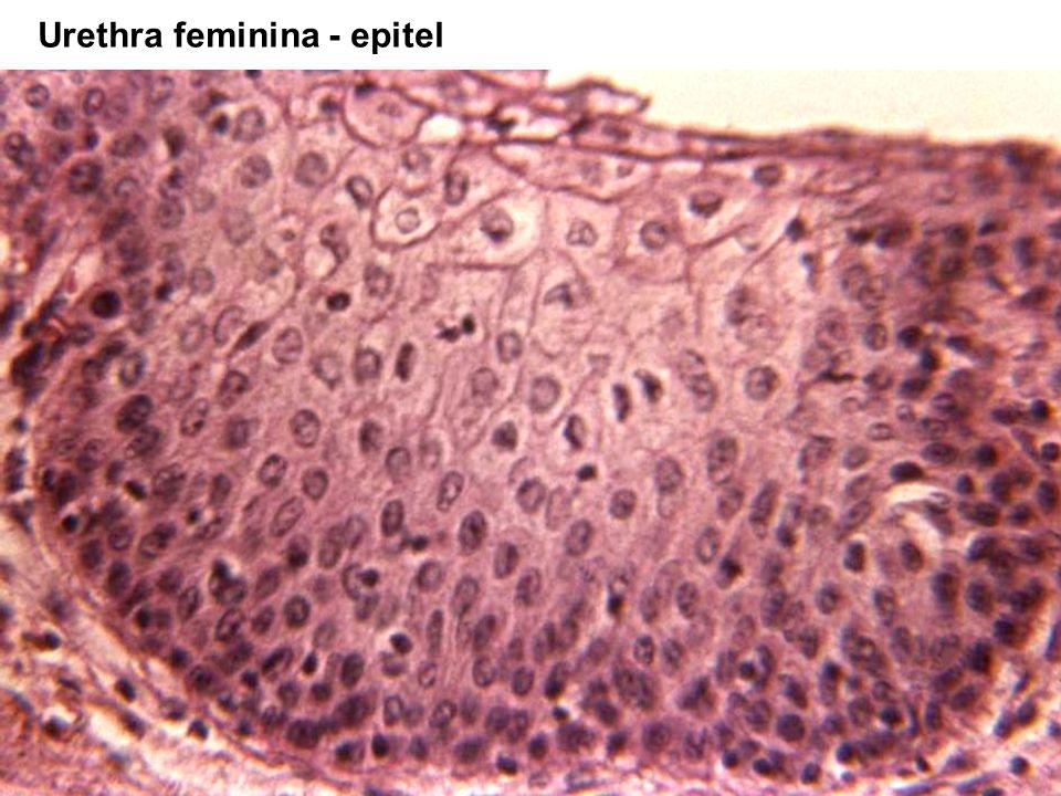 38 Urethra feminina - epitel