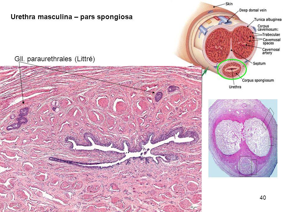 40 Urethra masculina – pars spongiosa Gll. paraurethrales (Littré)