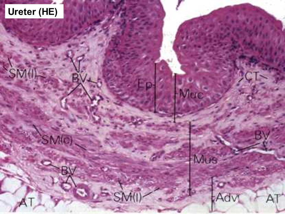 51 Ureter (HE)