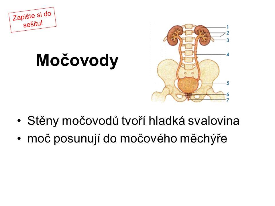 Močovody Stěny močovodů tvoří hladká svalovina moč posunují do močového měchýře Zapište si do sešitu!