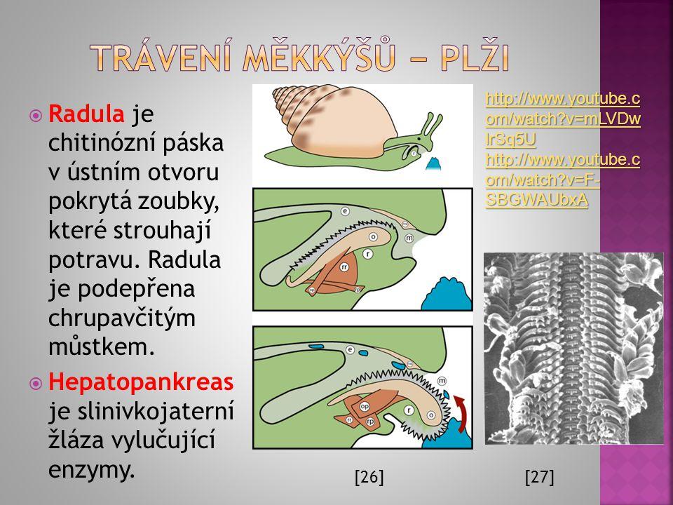  Popište části trávicí soustavy hlemýždě: Ú.: K čemu slouží radula a k čemu hepatopankreas? [25]