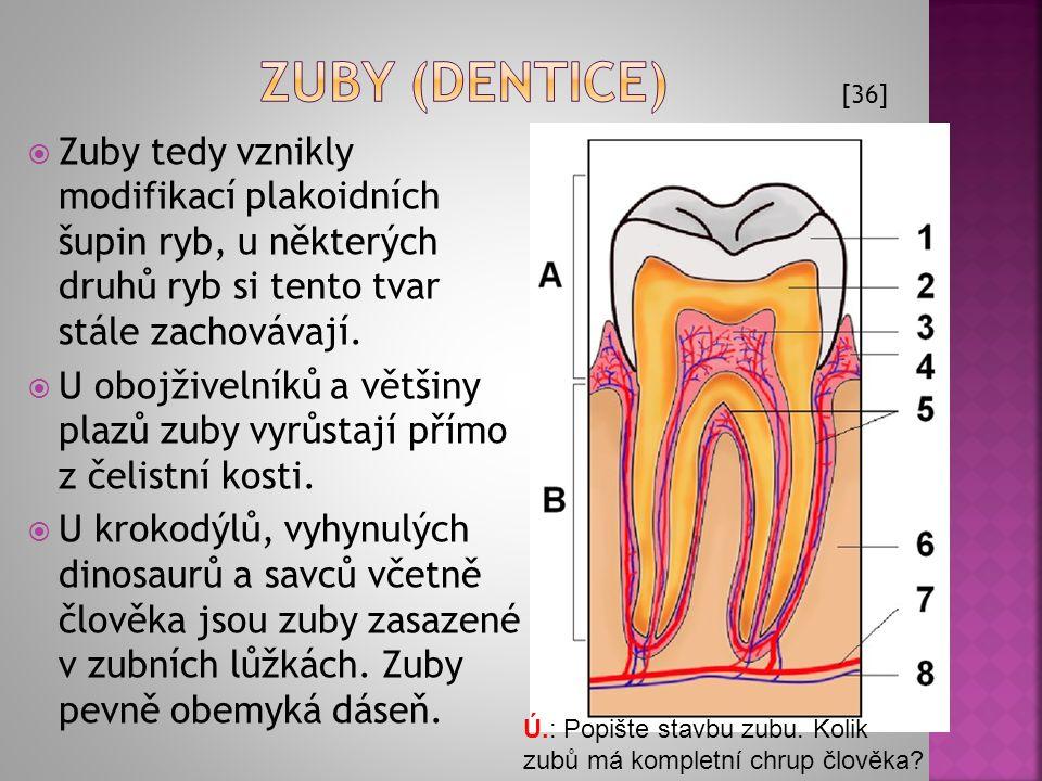  strop ústní dutiny se nazývá ústní patro  primární ústní patro: kompaktní nebo perforované choanami (vnitřní nozdry; u lalokoploutvých ryb a primit