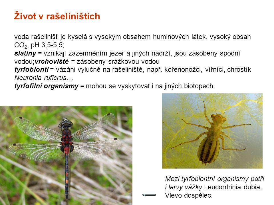Mezi tyrfobiontní organismy patří i larvy vážky Leucorrhinia dubia. Vlevo dospělec. Život v rašeliništích voda rašelinišť je kyselá s vysokým obsahem
