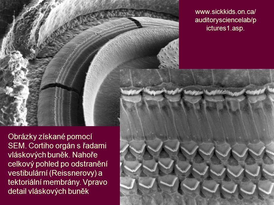 20 www.sickkids.on.ca/ auditorysciencelab/p ictures1.asp. Obrázky získané pomocí SEM. Cortiho orgán s řadami vláskových buněk. Nahoře celkový pohled p