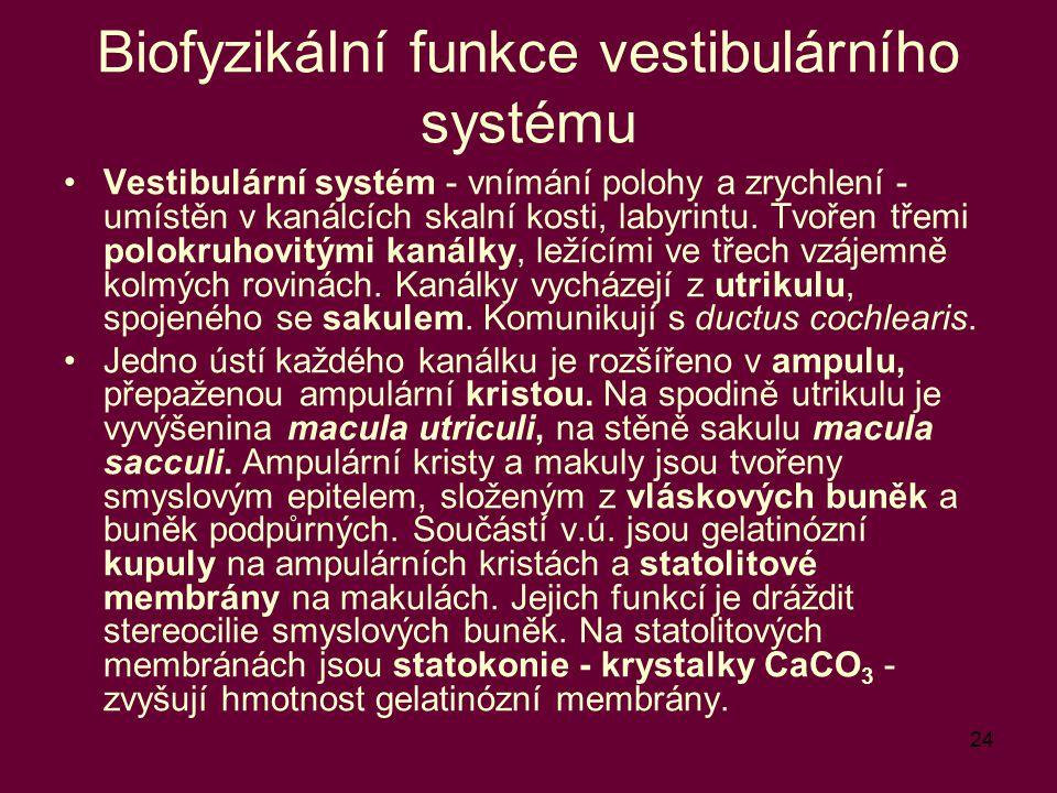 24 Biofyzikální funkce vestibulárního systému Vestibulární systém - vnímání polohy a zrychlení - umístěn v kanálcích skalní kosti, labyrintu. Tvořen t