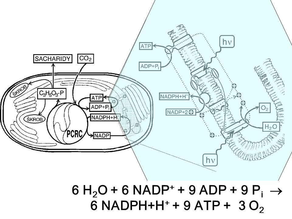 6 H 2 O + 6 NADP + + 9 ADP + 9 P i  6 NADPH+H + + 9 ATP + 3 O 2