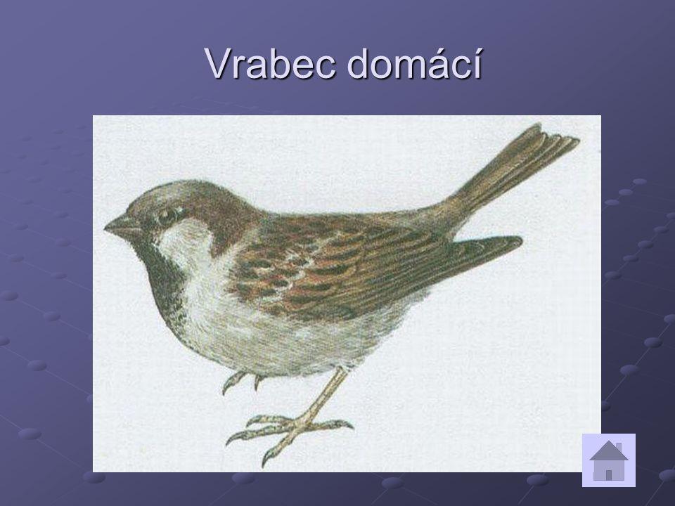 Vrabec domácí Vrabec domácí